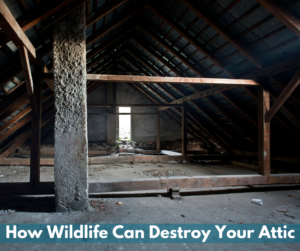 How Wildlife Can Destroy Your Attic Critter Control Sarasota